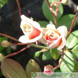 Historische Rose Perle d'Or