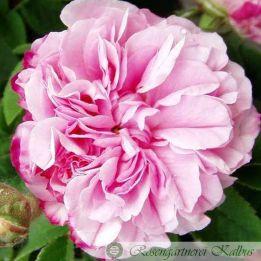 Historische Rose Pink Leda
