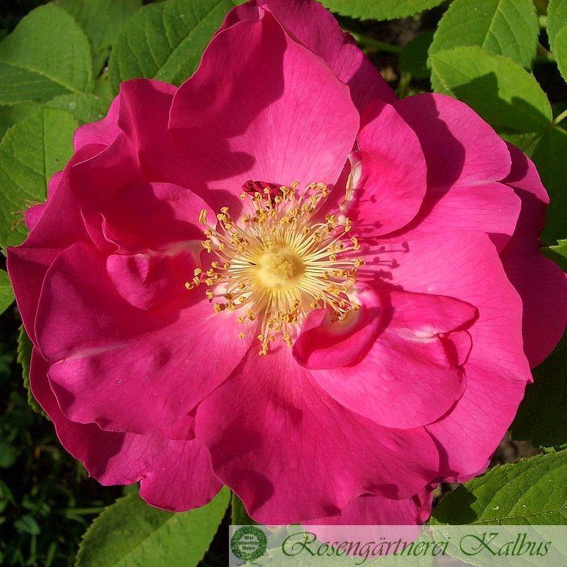 Historische Rose Portland Rose