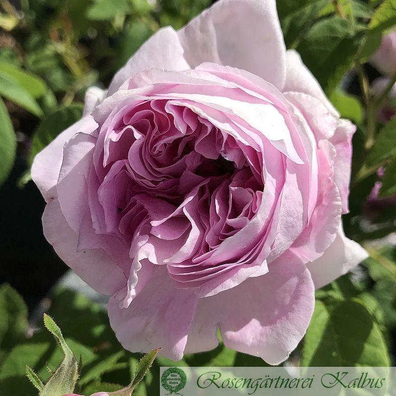Historische Rose Président de Sèze