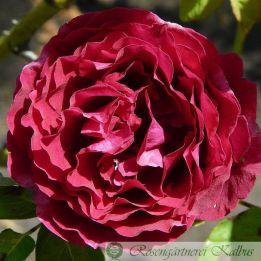 Historische Rose Prince Camille de Rohan