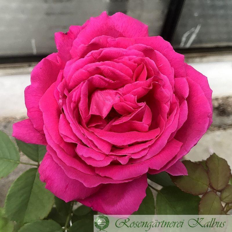 Historische Rose Urdh