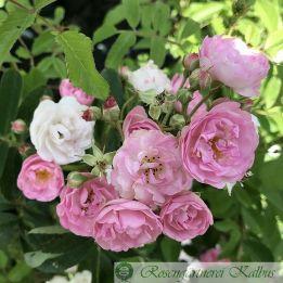 Ramblerrose Pearls and Diamonds®