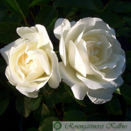 Historische Rose Prosperity
