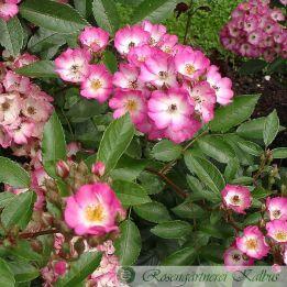 Historische Rose Puccini