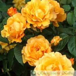 Moderne Rose Postillion®