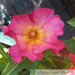 Strauchrose Pretty Sunrise®