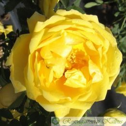 Rosa foetida 'Persian Yellow'