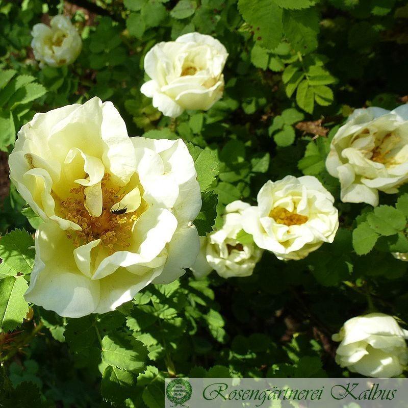 Wildrose Pimpinellifolia