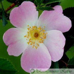 Wildrose Piro 3
