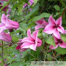 Clematis texensis Duchess of Albany