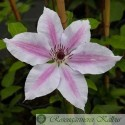 Clematis hybride 'Nelly Moser'
