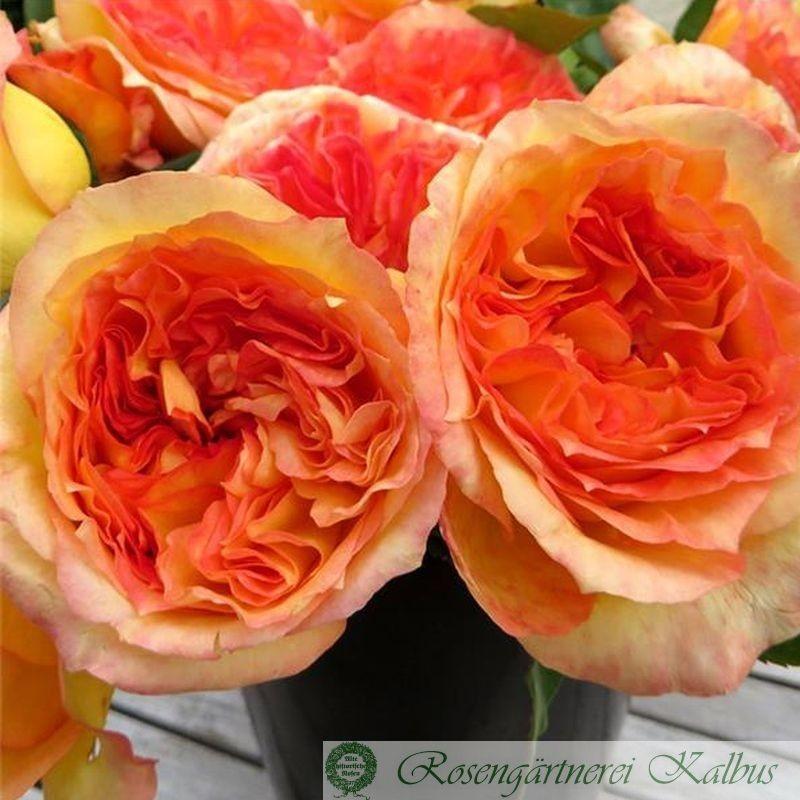 Delbard-Rose Henri Delbard®