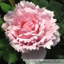 Delbard-Rose Sophie Rochas®