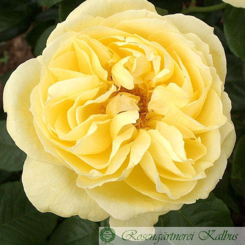 Delbard-Rose Souvenir de Marcel Proust®