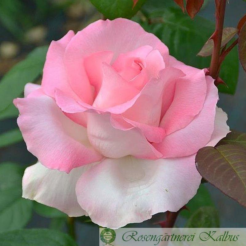 Delbard-Rose Grand Siecle®