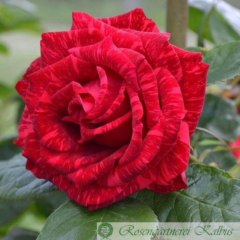 Delbard-Rose Red Intuition®