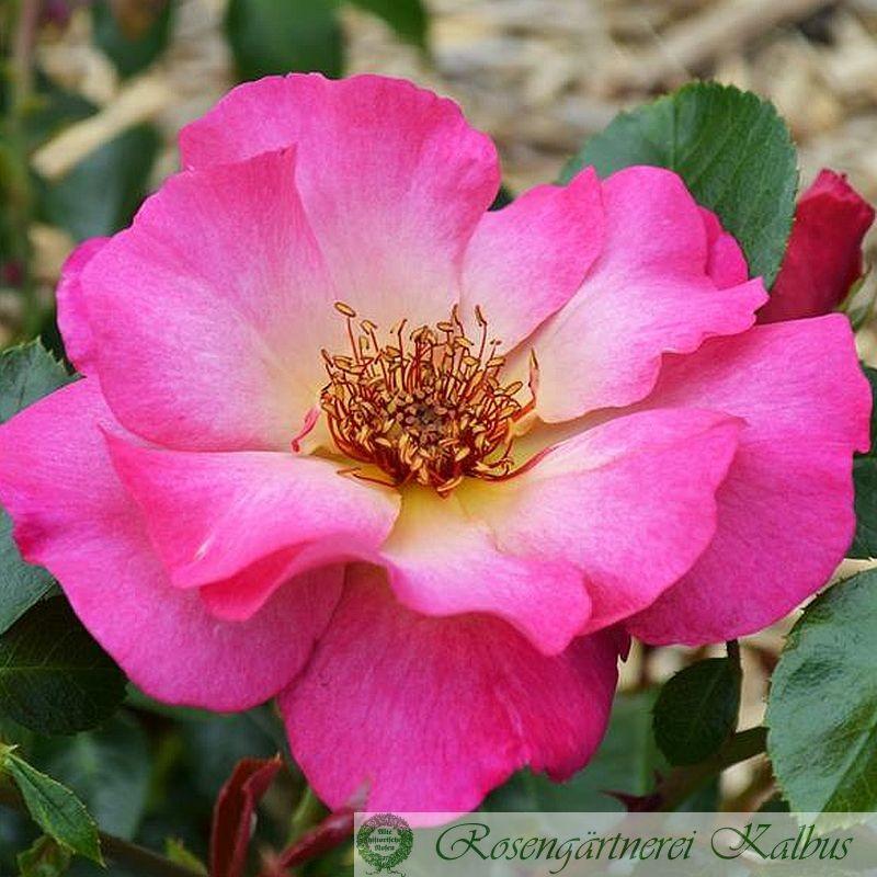 Delbard-Rose Tourmaline®
