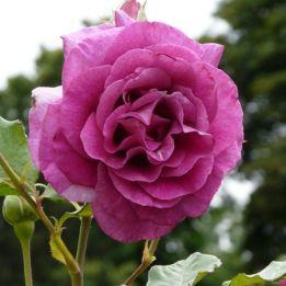 Kletterrose Violette Parfumee Climbing®