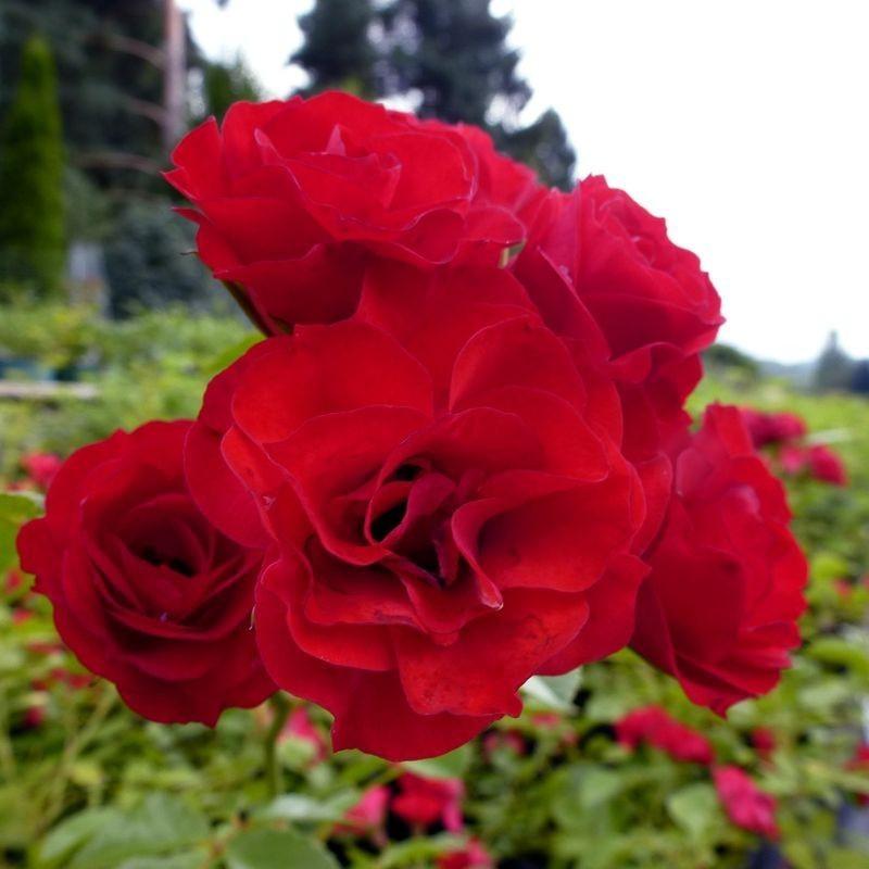 Bodendeckerrose Scarlet Meidiland®