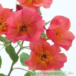 Englische Rose Morning Mist®
