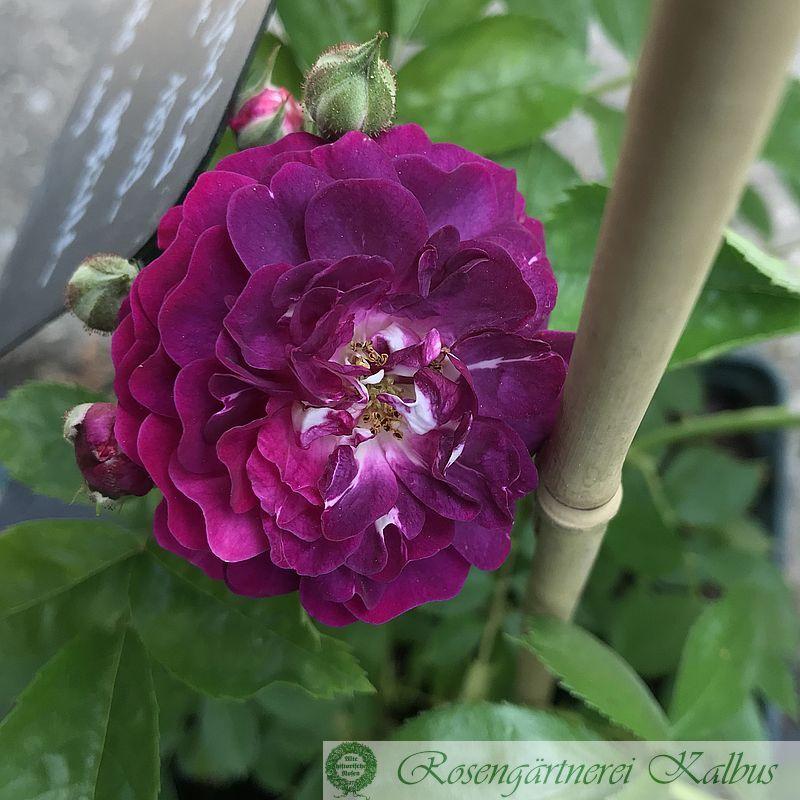 Ramblerrose Bleu Magenta