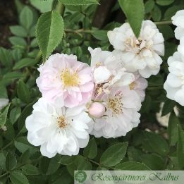 Ramblerrose Little Rambler