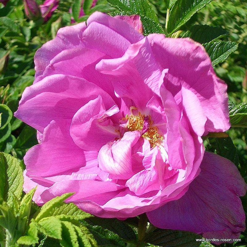 Historische Rose Pink Roadrunner®