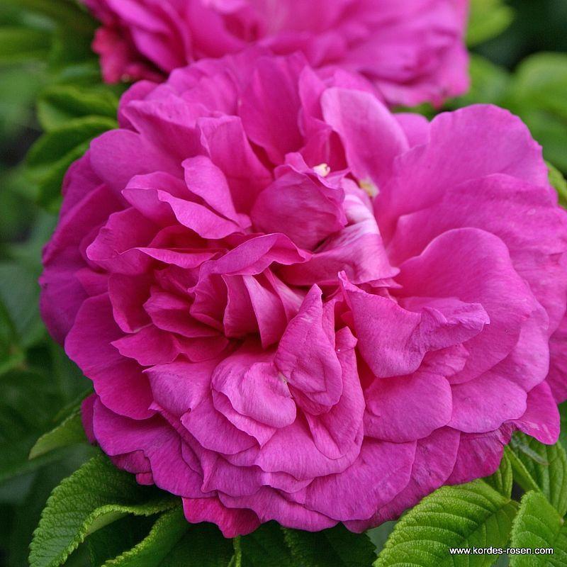 Historische Rose Purple Roadrunner®