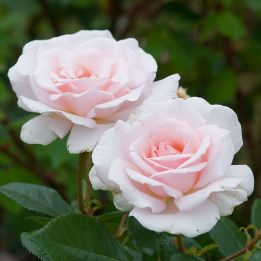 Edelrose A Whiter Shade of Pale®
