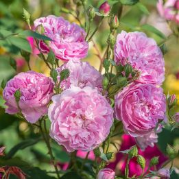 Englische Rose Harlow Carr®