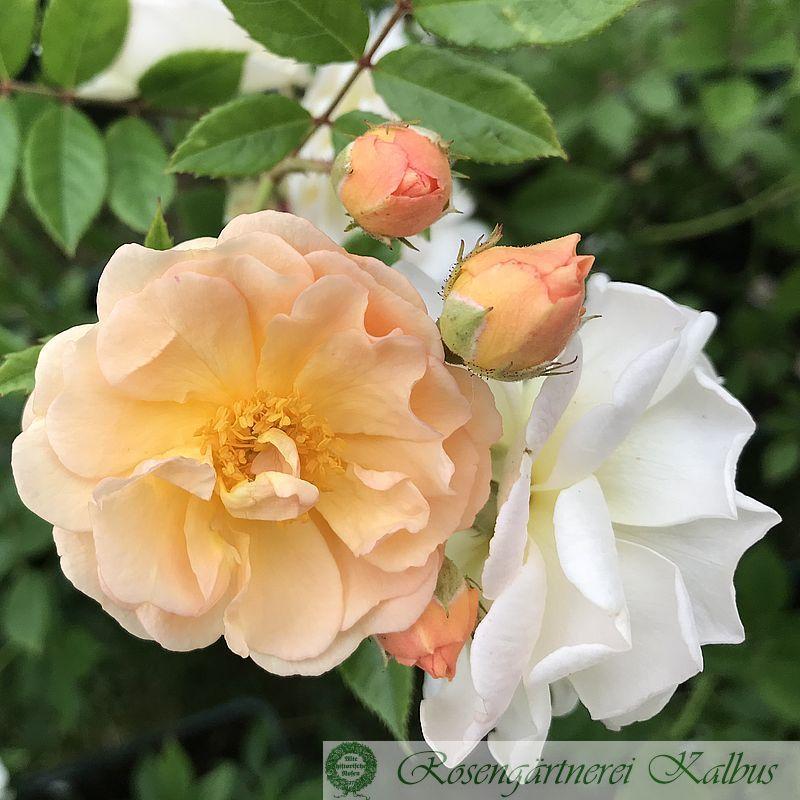 Ramblerrose Ghislaine de Feligonde