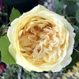 Generosa Rose 100 Idees Jardin®