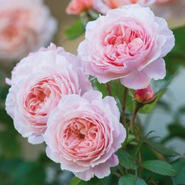 Englische Rose A Shropshire Lad®