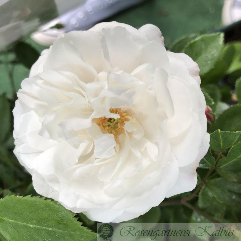 Ramblerrose Adelaide d'Orleans