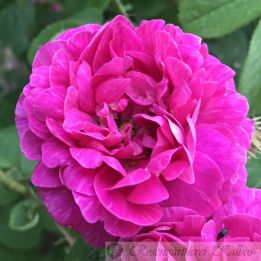 Historische Rose Aimable Rouge