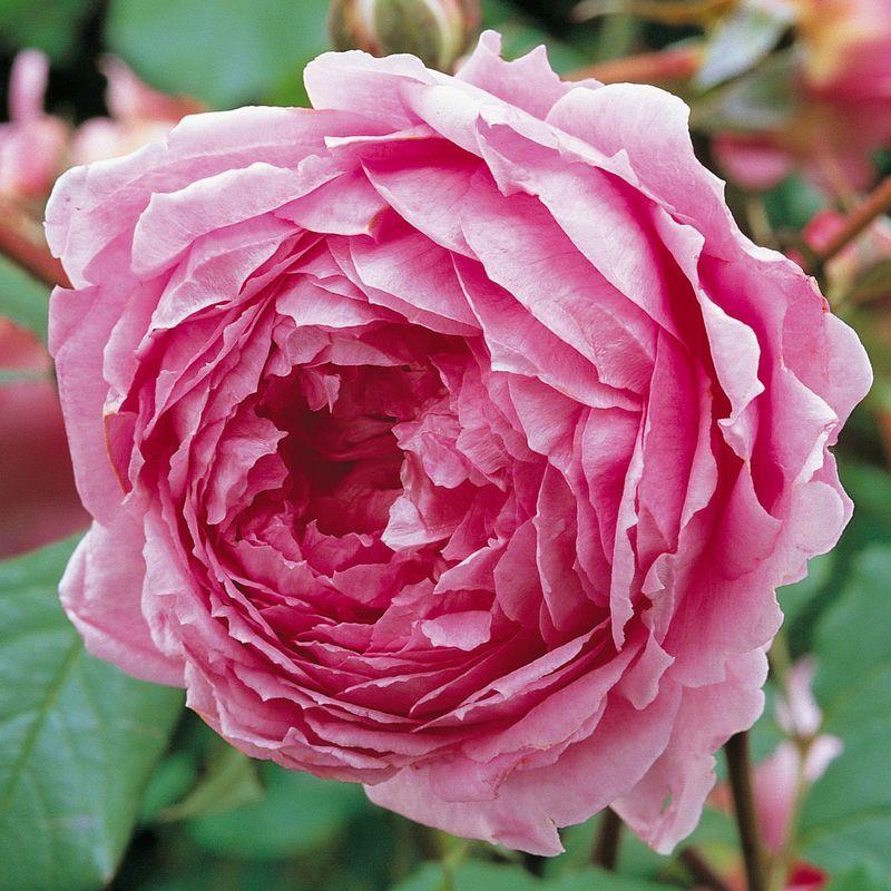 Englische Rose Alan Titchmarsh®