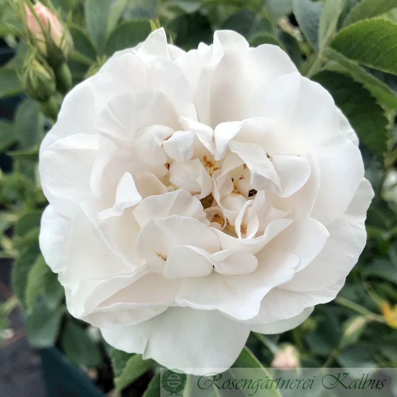 Historische Rose Alba maxima