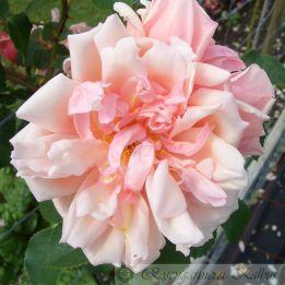 Ramblerrose Albertine