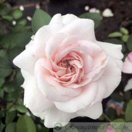 Strauchrose Princesse Alexandra de Luxembourg®