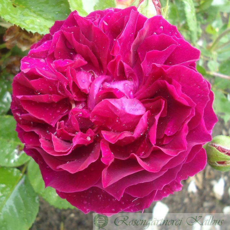 Historische Rose Alfred Colomb