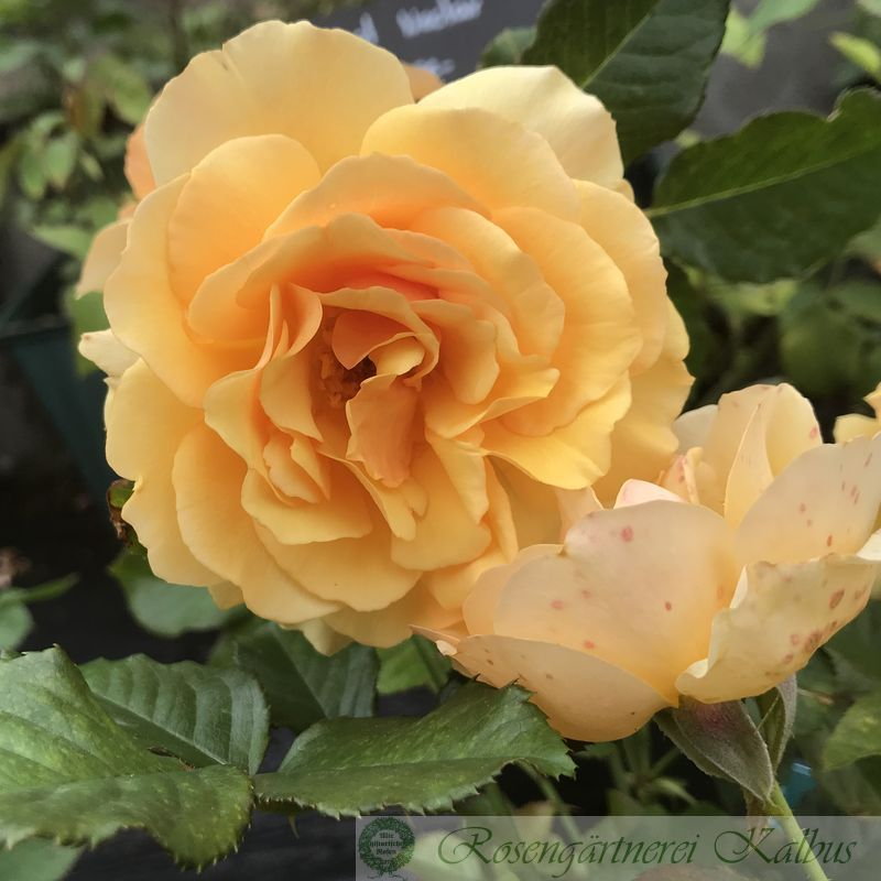 Moderne Beetrose Amber Queen®