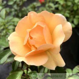Beetrose Amber Sun®