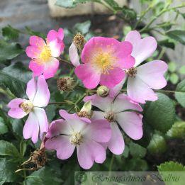 Bodendeckerrose Rosa Sternenflor