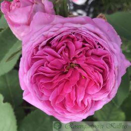 Historische Rose Anna de Diesbach