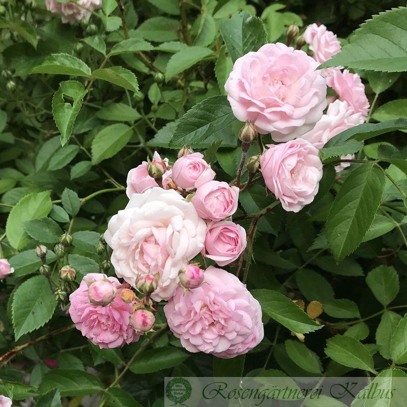 Ramblerrose Little Climbing