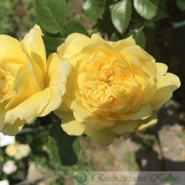 Beetrose Yellow Meilove®