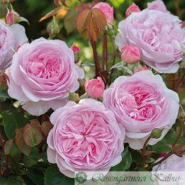 Besondere Rose Olivia Rose®