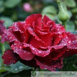 Besondere Rose Heinz Winkler®