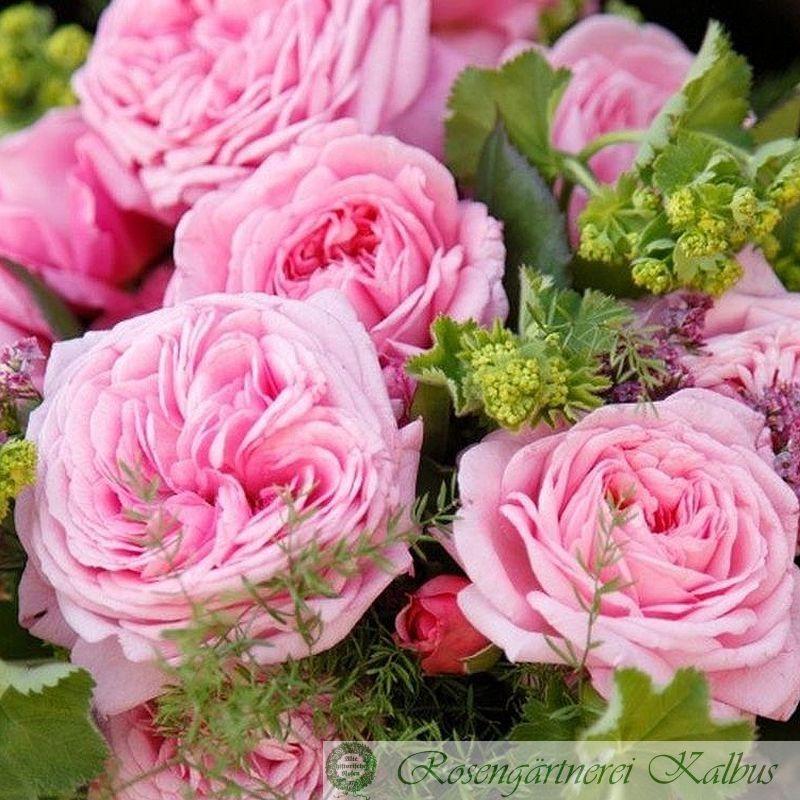 Moderne Rose Rosengräfin Marie Henriette®